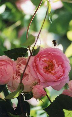 Constance Spry rose - my garden Bowen Island