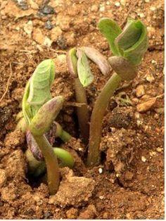 Cuerno de alce reproduccion asexual de las plantas
