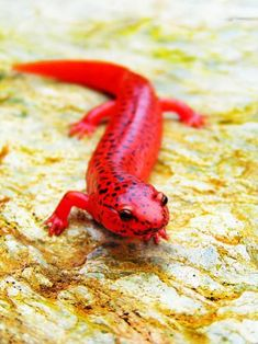 Northern Red Salamander- Such a vibrant red, I imagine it living inside a volcano, even though I know better Cute Reptiles, Reptiles And Amphibians, Mammals, Funny Lizards, Red Lizard, Chameleon Lizard, Animals And Pets, Baby Animals, Cute Animals