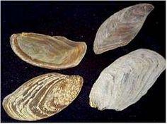 Operculum - Secreted shell plate