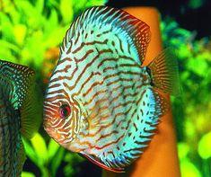 peixes ornamentais 2