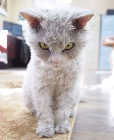Can I have this cat? I do wish I knew the breed!