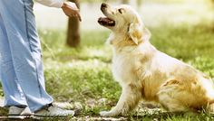 Buy Mastering Dog Training and Care Online Course for just £29.00 Become your very own dog whisperer with this Mastering Dog Training and Care Course      Study dog psychology, from puppy to fully grown dogs - to understand their minds better      Learn how to react and correct problem behaviours such as begging and digging      Recognise conditions like eczema and ringworm in your dog, as...