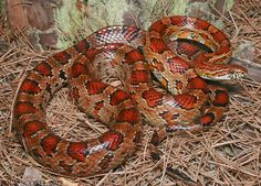 Corn Snake, a North American species of Rat Snake, and though harmless are often killed due to their superficial resemblance to the Copperhead. Rat Snake, Pretty Snakes, Beautiful Snakes, Spiders And Snakes, Colorful Snakes, Power Animal, Reptiles And Amphibians, Cool Pets, Snakes