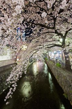 KYOTO NIGHT TIME CHERRY BLOSSOM by Martin Brown