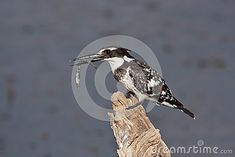 Photo about The Pied Kingfisher (Ceryle rudis) is a water kingfisher and is found widely distributed across Africa and Asia. Image of wildlife, south, fish - 31959755 Fish Stock, Kingfisher, Royalty Free Stock Photos, Wildlife, Asia, Southern, Birds, Water, Image