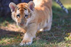 Golden Tabby Tiger cub photo #tigers