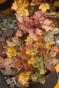 Heuchera 'Gypsy Dancer' (Dancer Series) / Plant & Flower Stock Photography: GardenPhotos.com