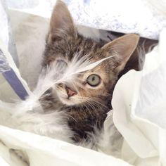 Boa Kitten