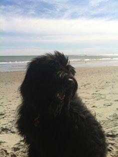 Sofie loving the beach. Our Bouvier Des Flandres dog.