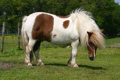 Shaggy shetland pony