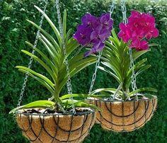 care of orchids as houseplants Vanda Orchids, Orchids Garden, Garden Plants, House Plants, Orchid Planters, Orchid Pot, Hanging Orchid, Hanging Plants, Belle Plante