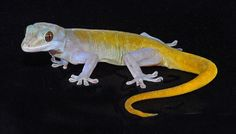 Golden Gecko