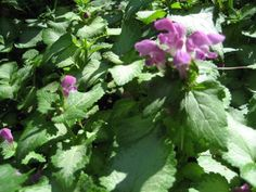 How to Grow and look after Dead Nettle, Yellow archangel, Cobbler's bench, and other Lamium Plant genus members in Your Garden. Partial Shade Plants, Sun Loving Plants, End Of Spring, Invasive Plants, Top Soil, Hardy Perennials, Plant Species, Wild Flowers, Colour