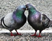 bird print, Pigeons, love birds, doves, Bird Photo, In Stock - Love on the Line, 8x10
