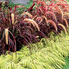 Contrast foliage It's a foolproof approach to border design: Pair plants—one tall, one short—in contrasting colors. Here, a purple fountain grass (Pennisetum x advena 'Rubrum') rises behind chartreuse Japanese forest grass (Hakonechloa macra 'Aureola').