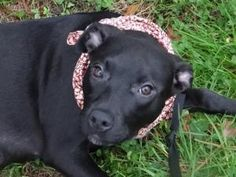 Pepper is an adoptable Black Labrador Retriever Dog in Peachtree City, GA. Happy, bouncy, lively little girl. Loves playing with other puppies. Cute little airplane ears. Hoping to have a new home for...