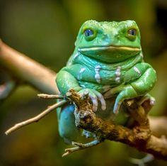 Waxy monkey leaf frog (Phyllomedusa sauvagii)