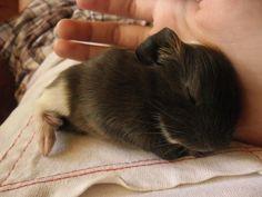 baby piggy sleeping. sooo cute!