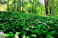 Found some wild garlic/ barlauch on our bike ride yesterday; got some experimental cooking ahead!