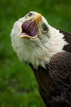 ~~Bald Eagle by Holly Kuchera~~                                                                                                                                                                                 More