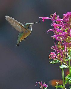 Calliope Hummingbird subadult male (stellula calliope) Littleton, Colorado.