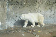 Polar bear at the Denver Zoo