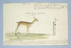 Oerebi ooi (Ourebia ourebi), Robert Jacob Gordon, 1777 - 1786