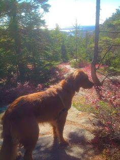 Ollie-dog hiking Acadia