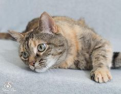Meet Linxi, a Petfinder adoptable Domestic Short Hair Cat | Fort Collins, CO | My big, rounds eyes will draw you in, but my affectionate personality will make you love me...