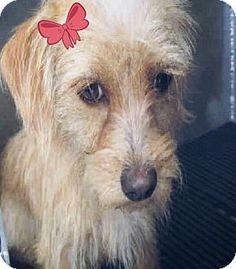 Vancouver, BC - Australian Terrier Mix. Meet Jazzy, a dog for adoption. http://www.adoptapet.com/pet/17596321-vancouver-british-columbia-australian-terrier-mix