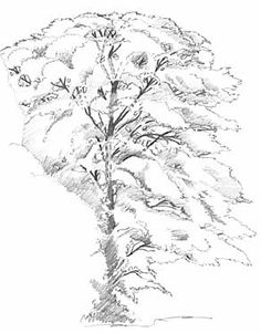 Drawing Photorealistic Trees, Art Lesson