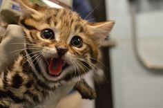 Philadelphia Zoo Welcomes Black-Footed Cat Kittens