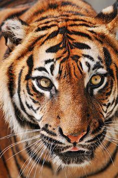 kingdom-of-animals:    Sumatran eyes by Tambako the Jaguar on Flickr.