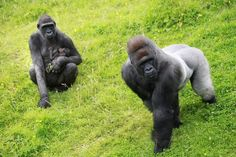 (6)  Enjoy the last week of the summer holidays at Belfast Zoo and visit Kwanza, Gugas and their new gorilla.