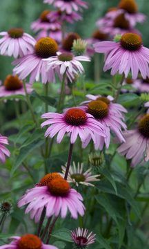 Echinacea Magnus attracts butterflies and tolerates humidity and hot/dry sites.