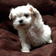Maltese high five