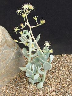 Sedum allanthoides