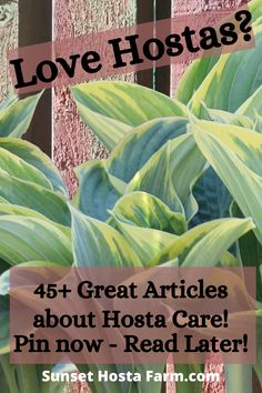 Here at Sunset Hosta Farm, we only grow and sell hostas, no other perennials. Why? Because we are true hostaholics! In addition to selling great hostas at affordable prices, we write several articles about hosta care. Even though hostas are an easy-to-grow perennial, there are things you can do to keep them beautiful and healthy. Gardening Blogs, Gardening For Beginners, Organic Gardening, Shade Landscaping, Landscaping Ideas, Shade Perennials, Shade Plants, Planting Succulents, Planting Flowers