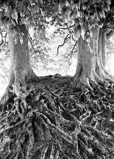 Beech tree roots on the Avebury Stone Circle. England. photo by Jan Traylen