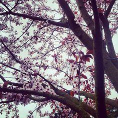 cherry blossom tree at minoru park, richmond, bc.