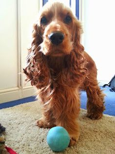 Spaniel's Tail: Product Review Beco Ball