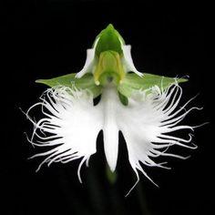 200pcs Japanese Egret Flowers Seeds White Egret Orchid Seeds Radiata Rare White Orchid Home Garden
