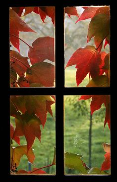 I like the contrast between the black window frame and the red leaves. I really like the way the window 'frames' the outside view. It almost comes across as 4 separate photos put together. The lines of the frame also draw attention to each separate window.