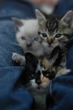 I die for The Itty Bitty Kitty Committee and seriously want to become a kitten foster parent! #kittens #cute