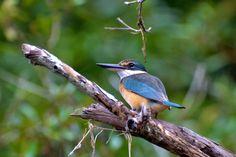 Sacred Kingfisher 2015, Australia, Daintree.