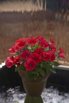 Petunia  Perfectunia™ Red