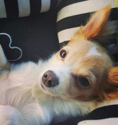 Chihuahua Cariño with heart on his head