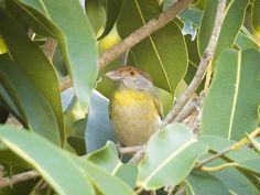 Foto pitiguari (Cyclarhis gujanensis) por Demóstenes Pereira | Wiki Aves - A Enciclopédia das Aves do Brasil