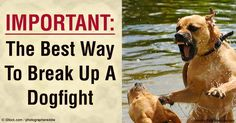 Find out the best way and response when trying to break a dogfight. These tips will help dog owner and pets to safely getaway from the fight. http://healthypets.mercola.com/sites/healthypets/archive/2016/03/21/breaking-up-dogfight.aspx